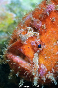Close-up of a frogfish by Jorge Sorial 